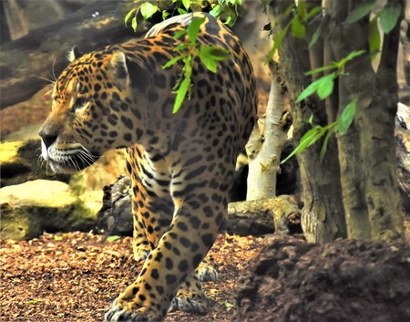 Orange jaguar with black spots goes near the tree trunk Stock Photo