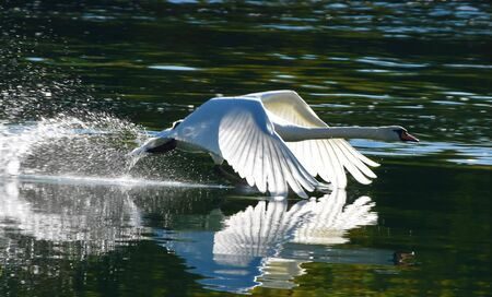 White swan runs up the river and flaps its wings for takeoff