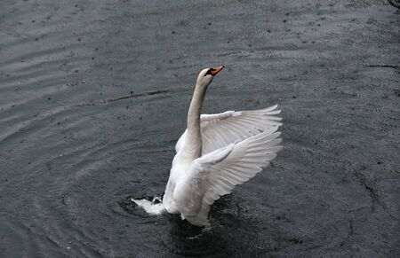 White swan stands on the water spreading its wings on a rainy day Stok Fotoğraf