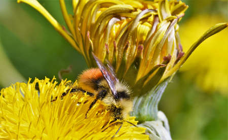 bee collects nectar from a dandelion Stock fotó
