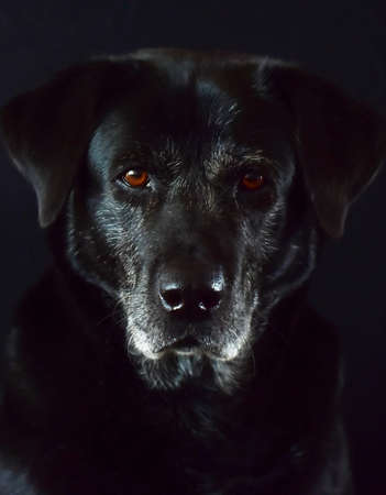 portrait of a black labrador with gray hair