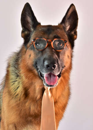 dog shepherd sitting on the carpet with glasses and tie Stock fotó