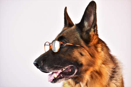 portrait of a shepherd dog with glasses on a white background