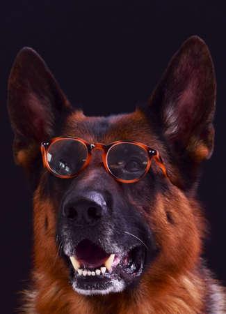 portrait of a german shepherd dog wearing glasses on a black background Stock fotó