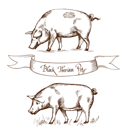 iberian: Black Iberian Pig. Vector illustration in Vintage engraving style. Can be used as grunge label or sticker image. Isolated Illustration