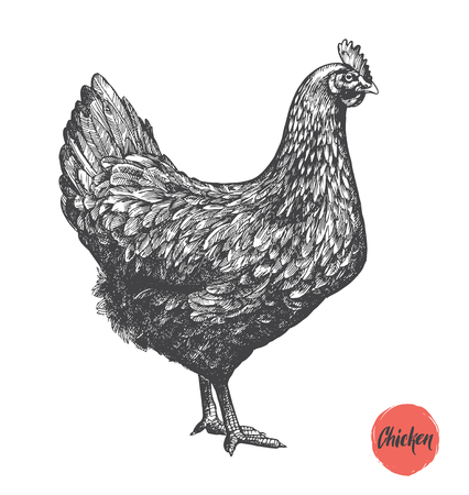 Chicken hand drawn illustration. Chicken meat and eggs vintage produce elements. Badges and design elements for the chicken manufacturing. Illustration 向量圖像