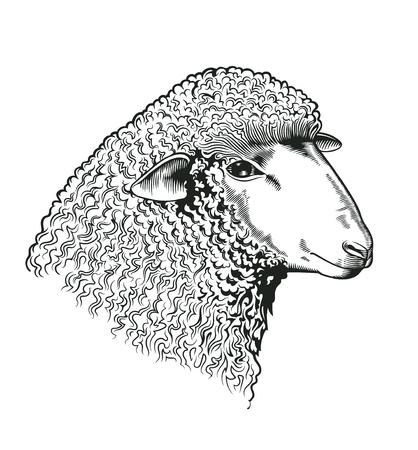 スタイルをエッチングで描かれた羊の頭。白い背景で隔離養殖の反芻動物。ベクトルのファーム市場のアイデンティティ、肉屋および羊毛製品ロゴ