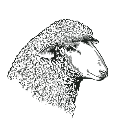 Head of sheep drawn in etching style. Farmed ruminant animal isolated on white background. Vector illustration for farm market identity, butchery and woolen products logo, advertisement, banner Reklamní fotografie - 82547787