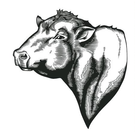 빈티지 목 판화 스타일에 그려진 dangus 품종의 황소의 머리. 흰색으로 격리 농장 동물입니다. 농업 시장 정체성, 제품, 광고 삽화