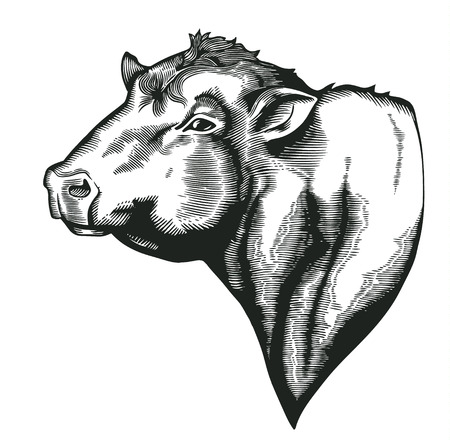 Head of bull of dangus breed drawn in vintage woodcut style. Farm animal isolated on white . illustration for agricultural market identity, products , advertisement
