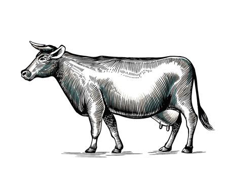 Koe hand getekend in elegante vintage gravure of etsstijl. Huisdier geïsoleerd op een witte achtergrond. Landbouwvee of vee. Monochrome vectorillustratie voor logo van melk of zuivelproducten