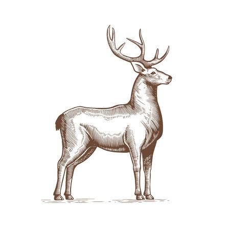 Illustration of a Deer Drawing by hand in vintage engraving style. Deer grunge label, Sticker depicting Reindeer with big horns. Vector.