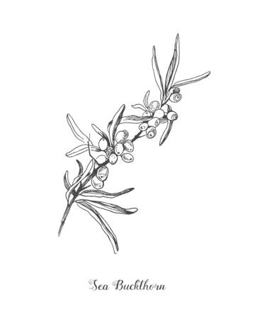 Sea buckthorn branch vector drawing. Isolated berry branch sketch on white background. Summer fruit engraved style illustration. Detailed hand drawn vegetarian food. Great for label, poster, print