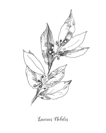 Vector Botanical illustration of the leafs Laurus Nobilis. Isolated illustration element. Black and white engraved ink art. Vector branch for packaging, texture, wrapper element, frame or border.