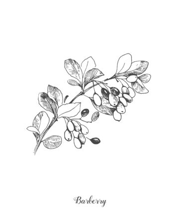 Berberis vulgaris, also known as common barberry, European barberry or simply barberry, is a shrub in the genus Berberis. It produces edible but sharply acidic berries, vintage line drawing.