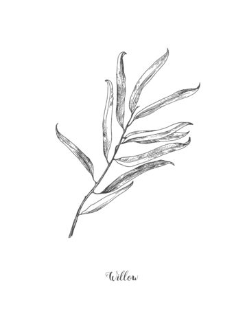 Willow branch line art vector on white background. Willow leaf Botanical Illustration. willow leaf vector illustration Zdjęcie Seryjne