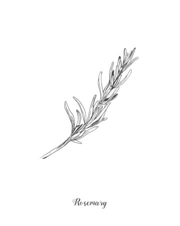 Botanical illustration of the Rosemary branch. Isolated on white background. Hand drawn vector illustration. Retro style. Great for tea packaging, label, icon, greeting cards, decor Zdjęcie Seryjne