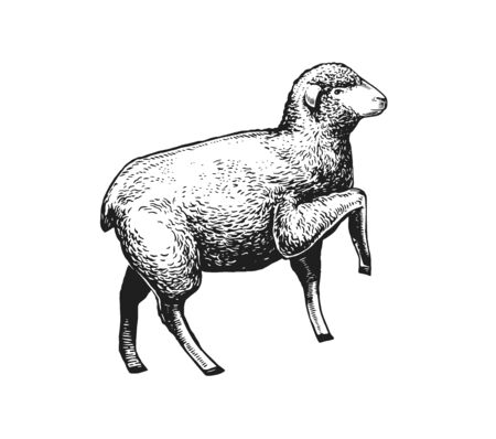 Illustration of the Sheep. Hand drawn in a graphic style. Vintage vector color engraving illustration for Poster, Package, Isolated on white background Zdjęcie Seryjne