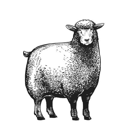 Cartoon Stylezed vector illustration of the Sheep in graphic style on the white background. Ilustracja