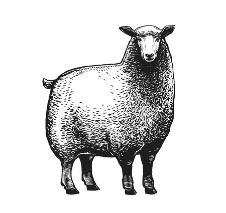 Vector illustration of the Sheep in graphic style on white background. Ilustracja