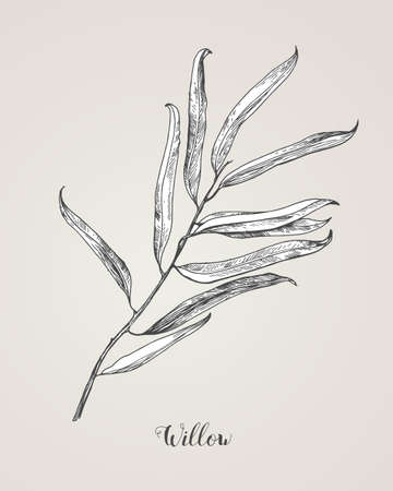Willow branch line art vector on white background. Willow leaf Botanical Illustration. willow leaf vector illustration Illustration