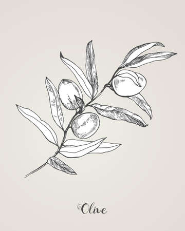Detailed hand drawn vector black and white illustration of olives with leaves. Botanical Illustration of the olive branch