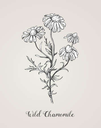 Daisy flower line art drawing. Vector hand drawn engraved illustration. Wild Chamomile black ink sketch. Wild botanical garden bloom. Great for tea packaging, label, icon, greeting cards, decor Illustration