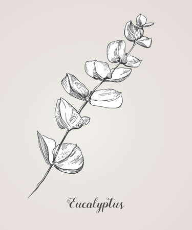 Eucalyptus branch. Hand Drawn Botanical line art illustration. Collection of sketch branches with foliage, leaves, plants, herbs for decoration design of wedding cards, poster, print.