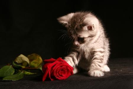 kleine Katze mit roter Rose