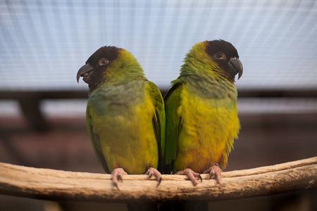 loros verdes: dos loros verdes sentado en la rama de la c�lula