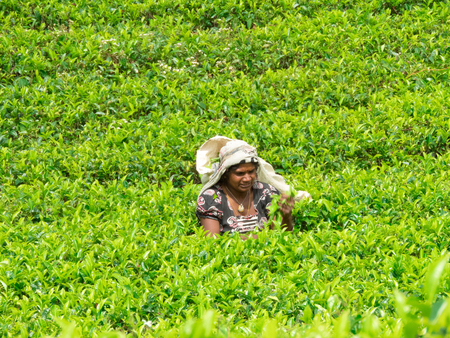 NUWARA ELIYA, SRI LANKA - MAR 18: Women from Sri lanka picking tea leaf on tea plantation on March 18, 2017 on a tea plantation at Nuwara Eliya, Sri lanka.