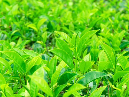 Green tea bud and fresh leaves. Tea plantations