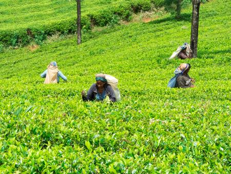 NUWARA ELIYA, SRI LANKA - MAR 18: Women from Sri lanka picking tea leaf on tea plantation on March 18, 2017 on a tea plantation at Nuwara Eliya, Sri lanka.