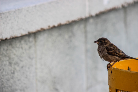 streetlife: Sparrow on the yellow urn