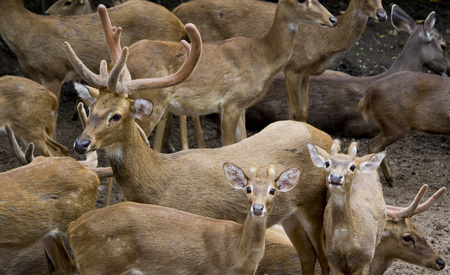 herd of deer: Deer herd