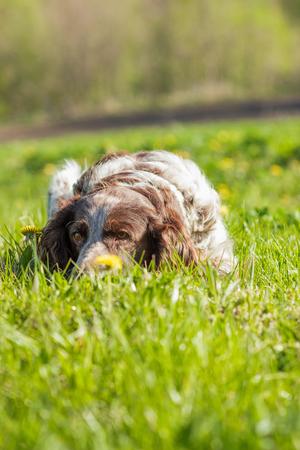 obediencia: Marrón manchado spaniel ruso establece en la hierba verde, fondo de enfoque suave