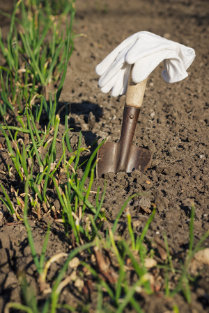 Concept of Planting: Spade in the hand, transplanting of onions, soft focus background Stock Photo