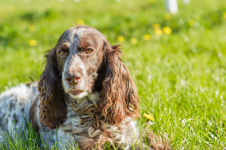 Brown spotted russian spaniel lays on the green grass, soft focus background