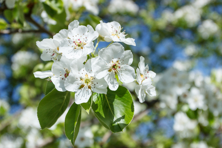 A branch of pear tree with blossom, soft focus background