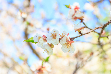 A branch of Apple tree with blossom, blurred background Stok Fotoğraf