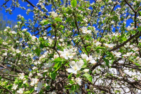 A branch of Apple tree with blossom, soft focus background