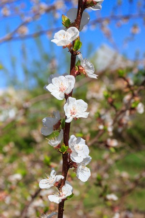 A branch of fruit tree with blossom, soft focus background