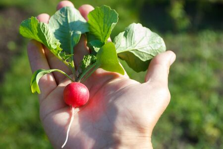 Ripe radish in the hand, background from nature, soft focus 版權商用圖片