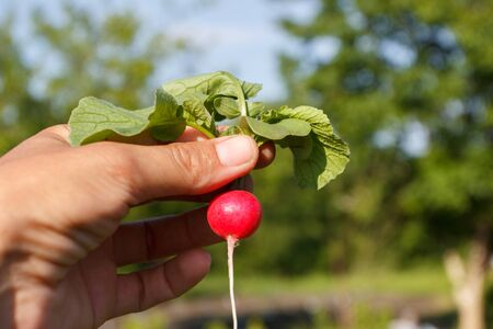 Ripe radish in the hand, background from nature, soft focus Reklamní fotografie