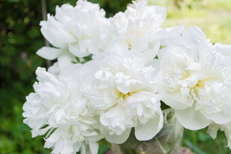 Blossom of white peony, soft focus background
