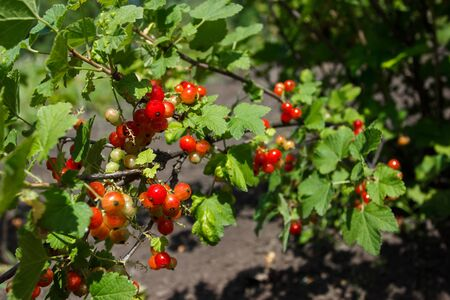Bushes of red ripe currant, gardening concept, harvest time, soft focus background