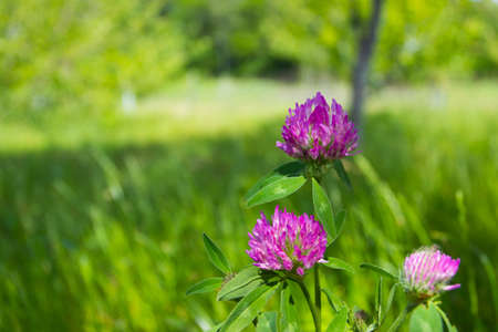 Pink flowers of clover, soft focus background