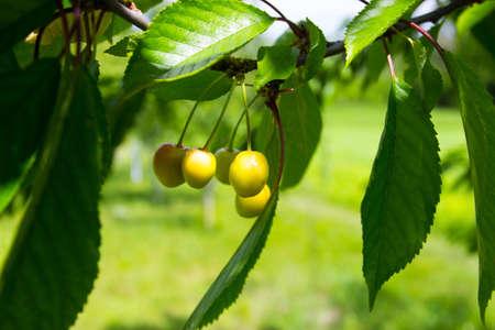 Branch of yellow ripe fresh sweet cherry, soft focus background
