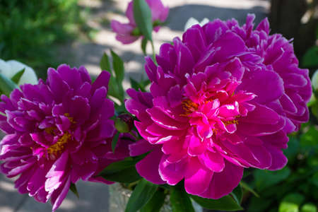 Blossom of saturated pink peony, soft focus background