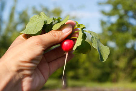 Ripe radish in the hand, background from nature, soft focus background